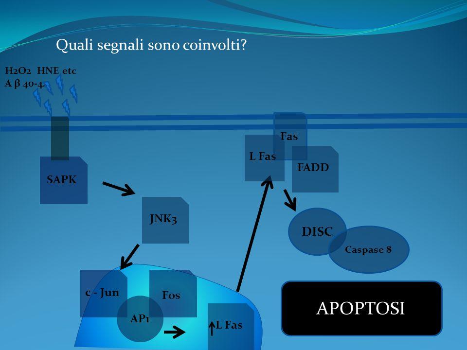 Quali segnali sono coinvolti? H2O2 HNE etc A β 40-42 SAPK JNK3 c - Jun Fos AP1 L Fas Fas L Fas FADD DISC Caspase 8 APOPTOSI