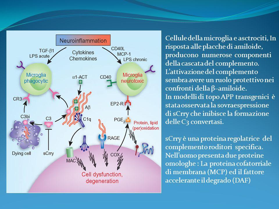 Cellule della microglia e asctrociti, In risposta alle placche di amiloide, producono numerose componenti della cascata del complemento. Lattivazione