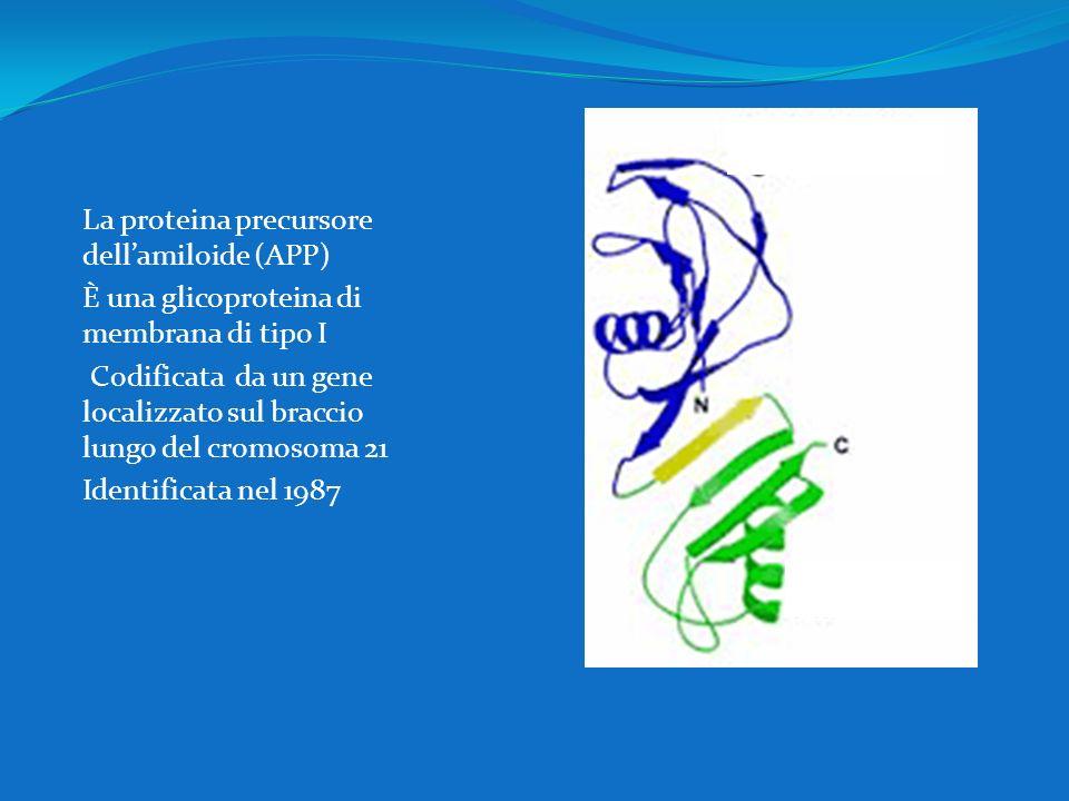 La proteina precursore dellamiloide (APP) È una glicoproteina di membrana di tipo I Codificata da un gene localizzato sul braccio lungo del cromosoma