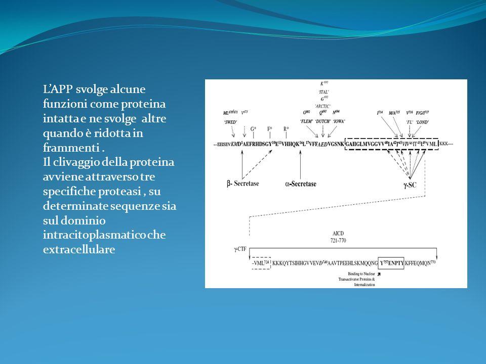 LAPP svolge alcune funzioni come proteina intatta e ne svolge altre quando è ridotta in frammenti. Il clivaggio della proteina avviene attraverso tre