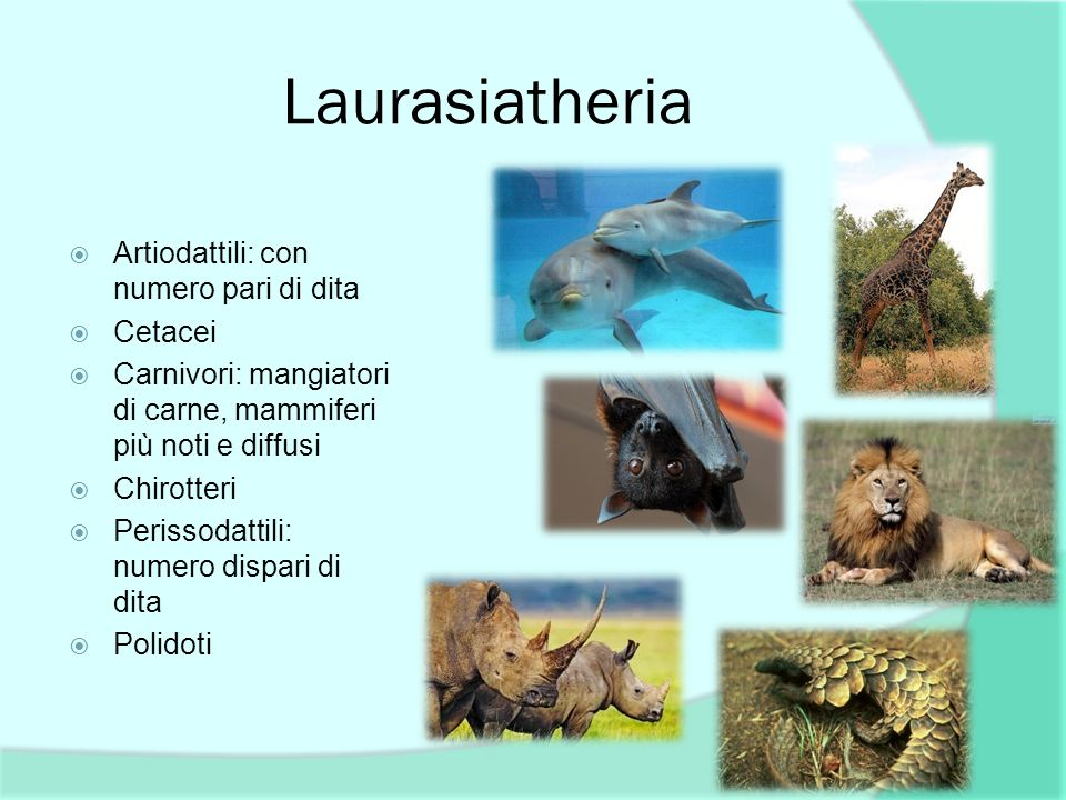 Laurasiatheria Artiodattili: con numero pari di dita Cetacei Carnivori: mangiatori di carne, mammiferi più noti e diffusi Chirotteri Perissodattili: n