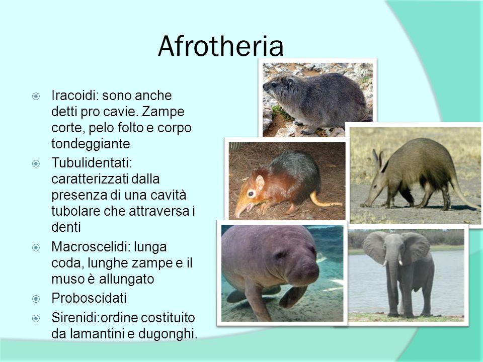 Afrotheria Iracoidi: sono anche detti pro cavie. Zampe corte, pelo folto e corpo tondeggiante Tubulidentati: caratterizzati dalla presenza di una cavi