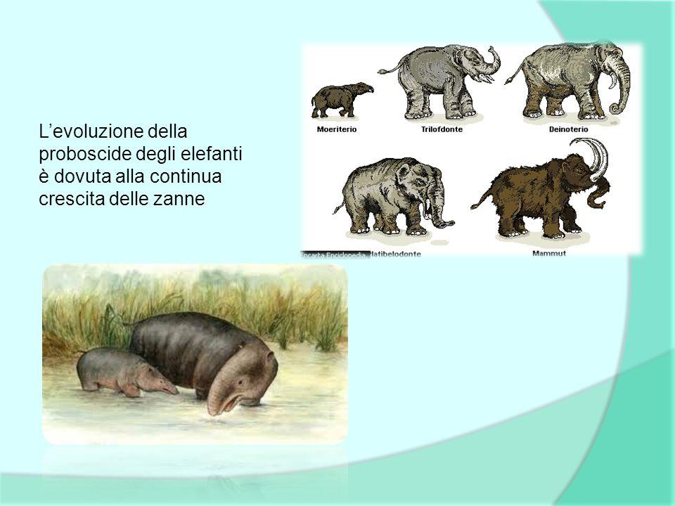 Levoluzione della proboscide degli elefanti è dovuta alla continua crescita delle zanne