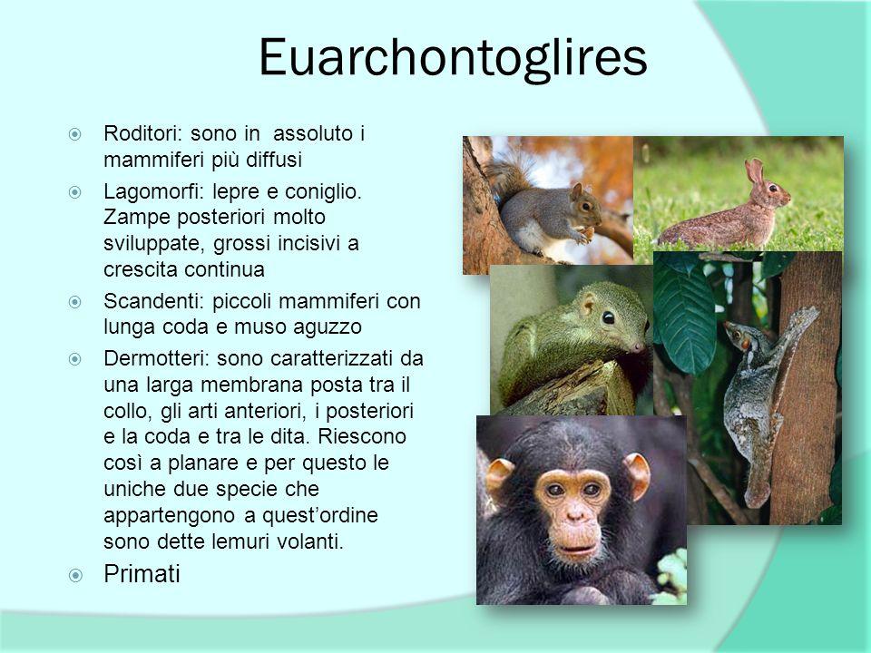 Euarchontoglires Roditori: sono in assoluto i mammiferi più diffusi Lagomorfi: lepre e coniglio. Zampe posteriori molto sviluppate, grossi incisivi a