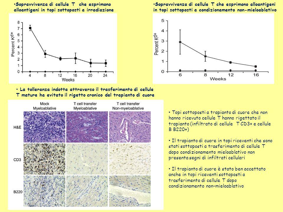 Sopravvivenza di cellule T che esprimono alloantigeni in topi sottoposti a irradiazione Sopravvivenza di cellule T che esprimono alloantigeni in topi