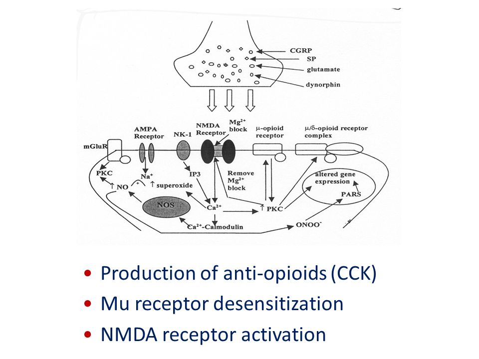 Production of anti-opioids (CCK) Mu receptor desensitization NMDA receptor activation