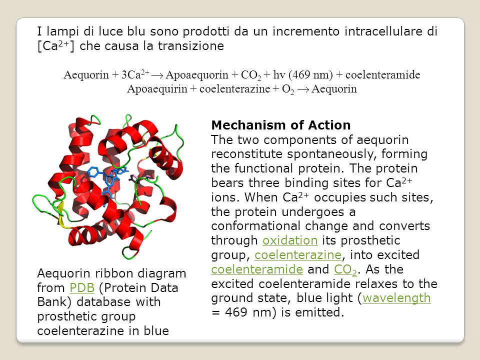 I lampi di luce blu sono prodotti da un incremento intracellulare di [Ca 2+ ] che causa la transizione Aequorin + 3Ca 2+ Apoaequorin + CO 2 + hv (469 nm) + coelenteramide Apoaequirin + coelenterazine + O 2 Aequorin Aequorin ribbon diagram from PDB (Protein Data Bank) database with prosthetic group coelenterazine in bluePDB Mechanism of Action The two components of aequorin reconstitute spontaneously, forming the functional protein.