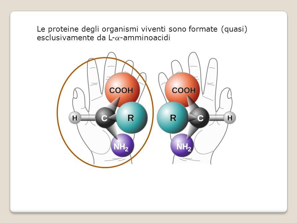 Le proteine degli organismi viventi sono formate (quasi) esclusivamente da L--amminoacidi
