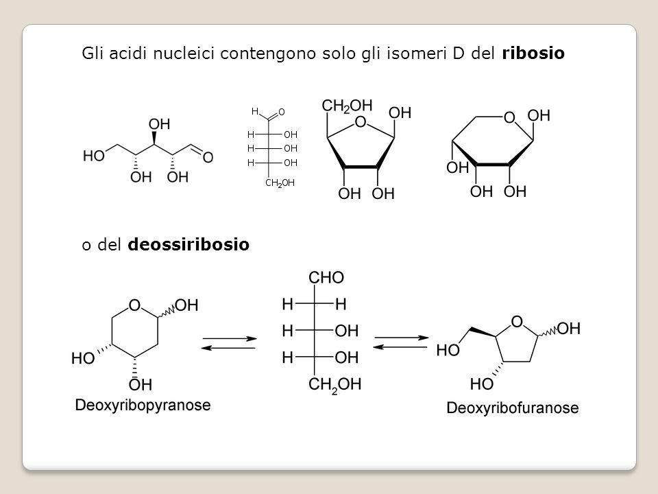 Gli acidi nucleici contengono solo gli isomeri D del ribosio o del deossiribosio