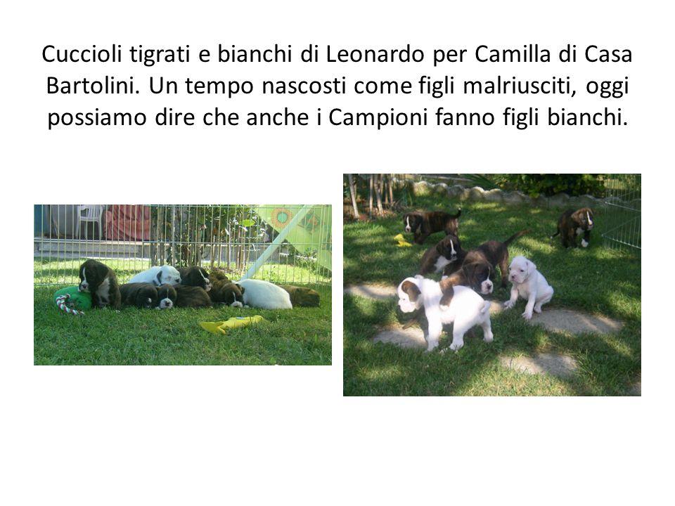 Cuccioli tigrati e bianchi di Leonardo per Camilla di Casa Bartolini. Un tempo nascosti come figli malriusciti, oggi possiamo dire che anche i Campion
