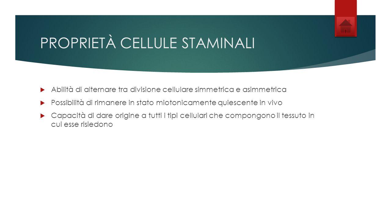 PROPRIETÀ CELLULE STAMINALI Abilità di alternare tra divisione cellulare simmetrica e asimmetrica Possibilità di rimanere in stato miotonicamente quiescente in vivo Capacità di dare origine a tutti i tipi cellulari che compongono il tessuto in cui esse risiedono