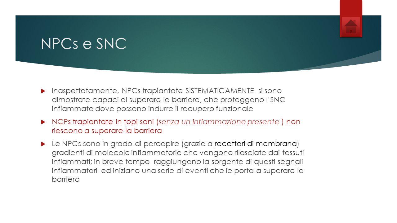NPCs e SNC Inaspettatamente, NPCs trapiantate SISTEMATICAMENTE si sono dimostrate capaci di superare le barriere, che proteggono lSNC infiammato dove