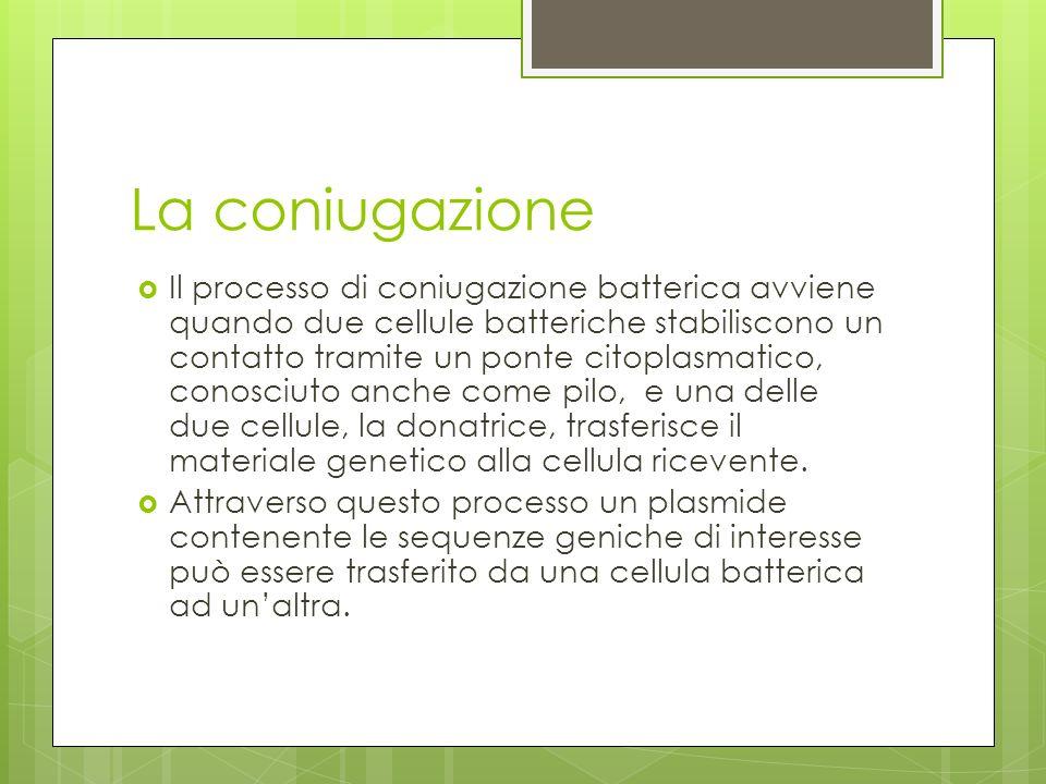 La coniugazione Il processo di coniugazione batterica avviene quando due cellule batteriche stabiliscono un contatto tramite un ponte citoplasmatico,
