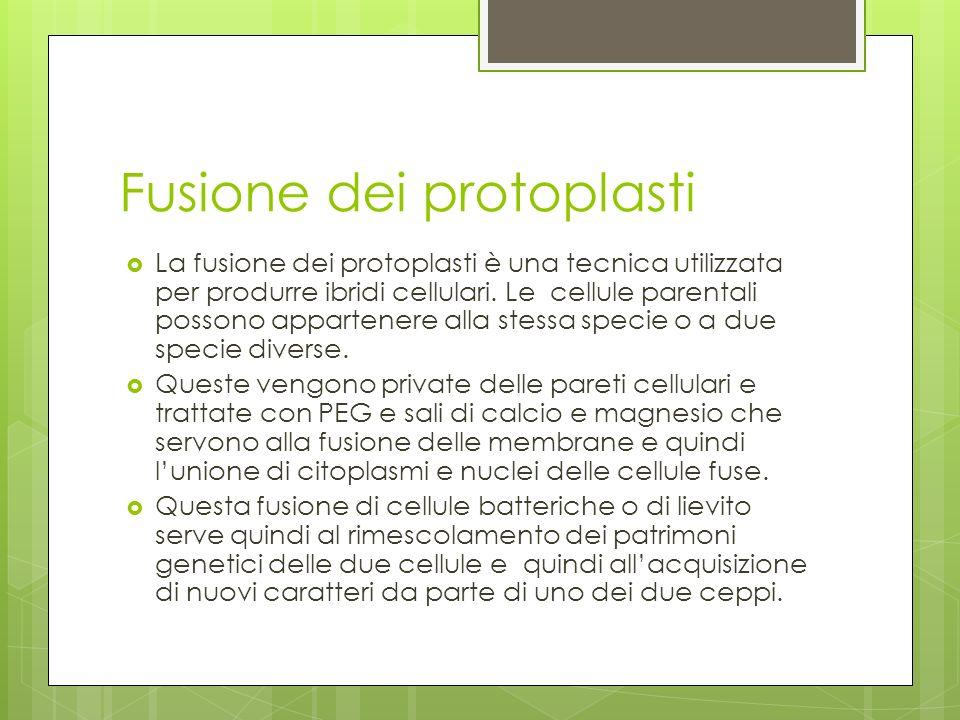 Fusione dei protoplasti La fusione dei protoplasti è una tecnica utilizzata per produrre ibridi cellulari. Le cellule parentali possono appartenere al