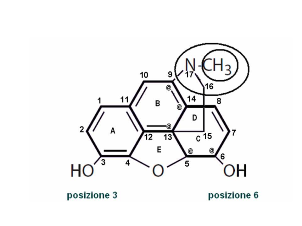 Chimica della Morfina La morfina è un alcaloide naturale estratto dalloppio, chimicamente isolato nel 1803, la sua corretta formula di struttura fu determinata nel 1927 e la molecola sintetizzata totalmente nel 1952.