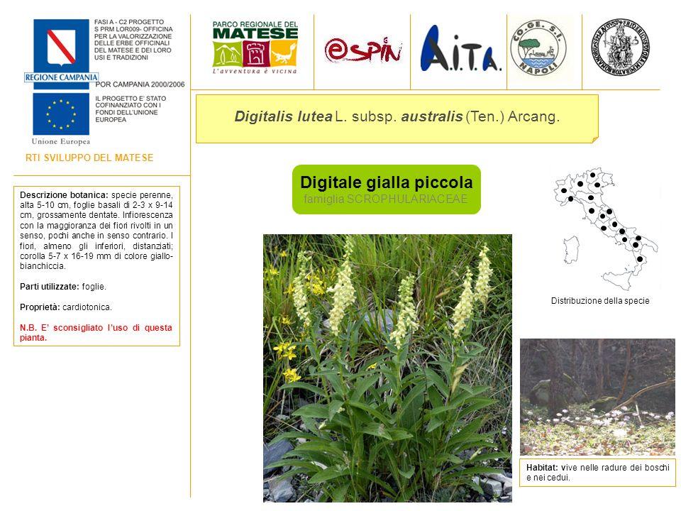 RTI SVILUPPO DEL MATESE Digitale gialla piccola famiglia SCROPHULARIACEAE Digitalis lutea L. subsp. australis (Ten.) Arcang. Descrizione botanica: spe