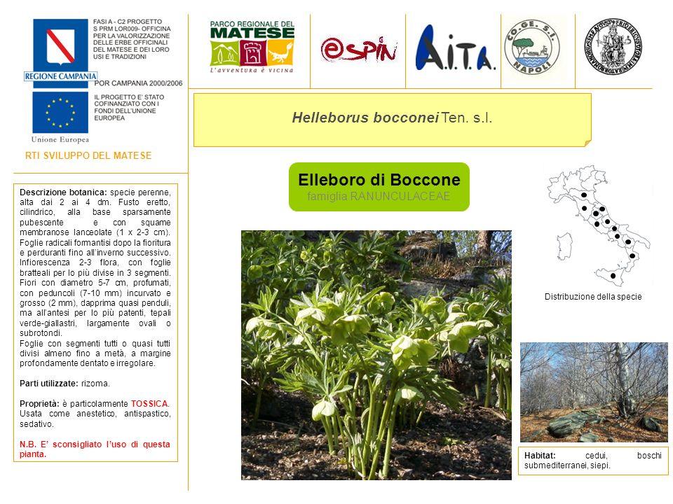 RTI SVILUPPO DEL MATESE Elleboro di Boccone famiglia RANUNCULACEAE Helleborus bocconei Ten. s.l. Descrizione botanica: specie perenne, alta dai 2 ai 4