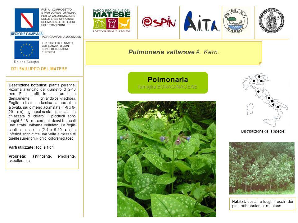 RTI SVILUPPO DEL MATESE Polmonaria famiglia BORAGINACEAE Pulmonaria vallarsae A. Kern. Descrizione botanica: pianta perenne. Rizoma allungato del diam