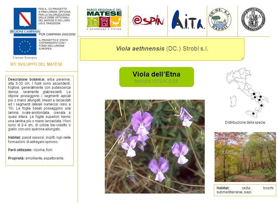 RTI SVILUPPO DEL MATESE Viola dellEtna famiglia VIOLACEAE Viola aethnensis (DC.) Strobl s.l. Descrizione botanica: erba perenne, alta 5-30 cm. I fusti