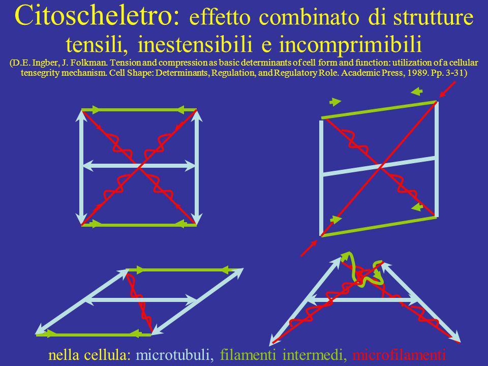 Citoscheletro: effetto combinato di strutture tensili, inestensibili e incomprimibili (D.E. Ingber, J. Folkman. Tension and compression as basic deter