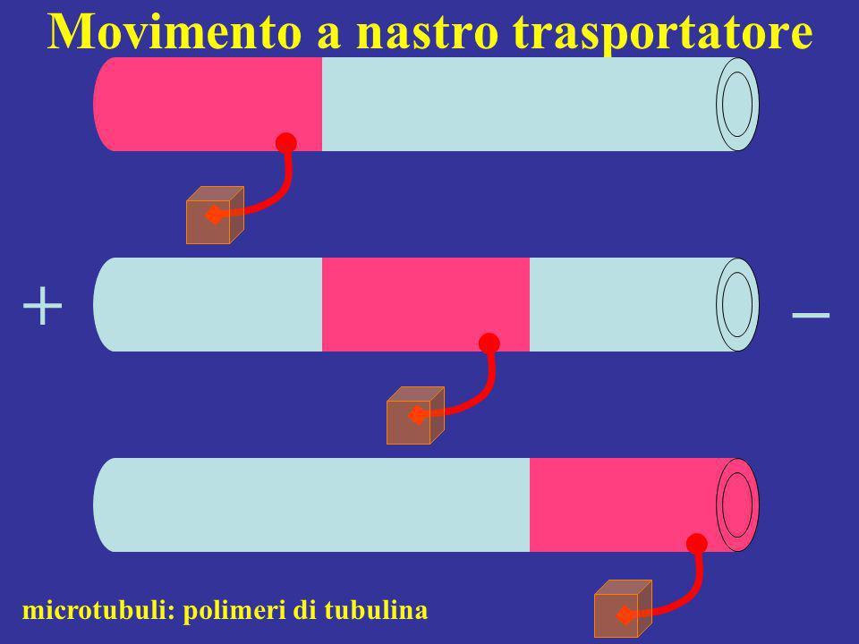 Movimento a nastro trasportatore + microtubuli: polimeri di tubulina _