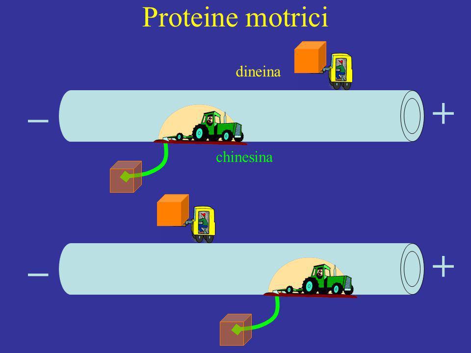 Proteine motrici + + _ _ chinesina dineina