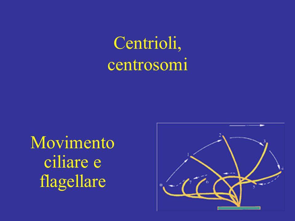 Centrioli, centrosomi Movimento ciliare e flagellare