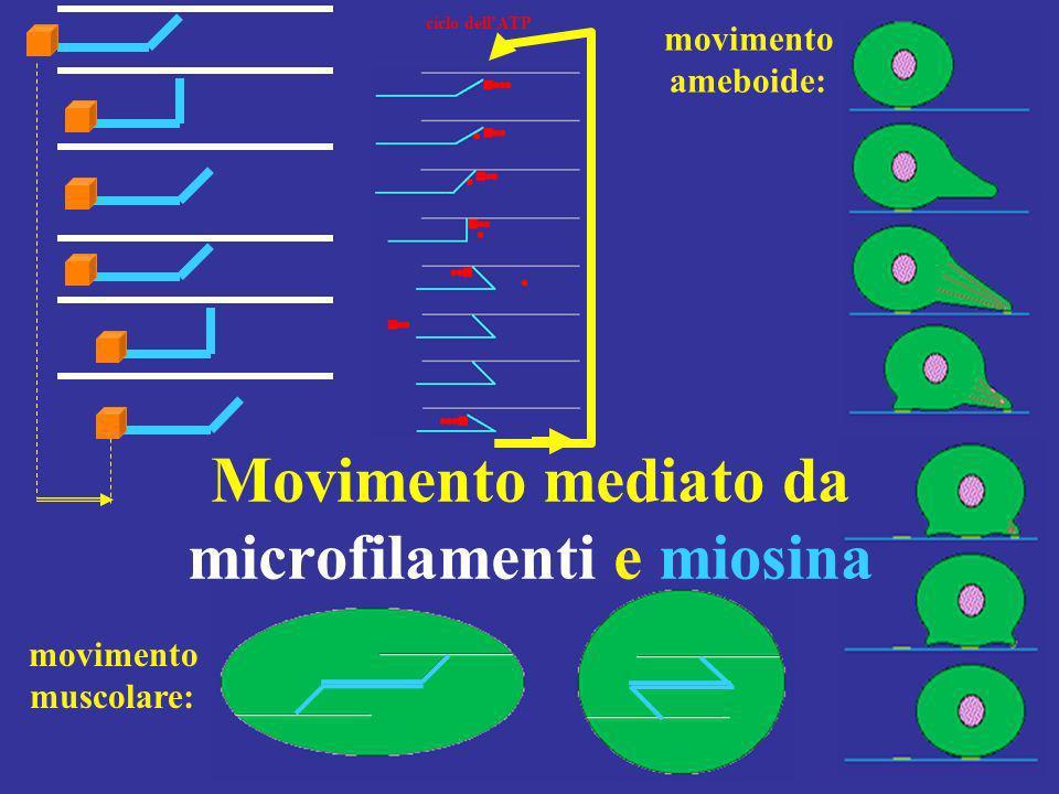 Movimento mediato da microfilamenti e miosina movimento ameboide: movimento muscolare: ciclo dellATP