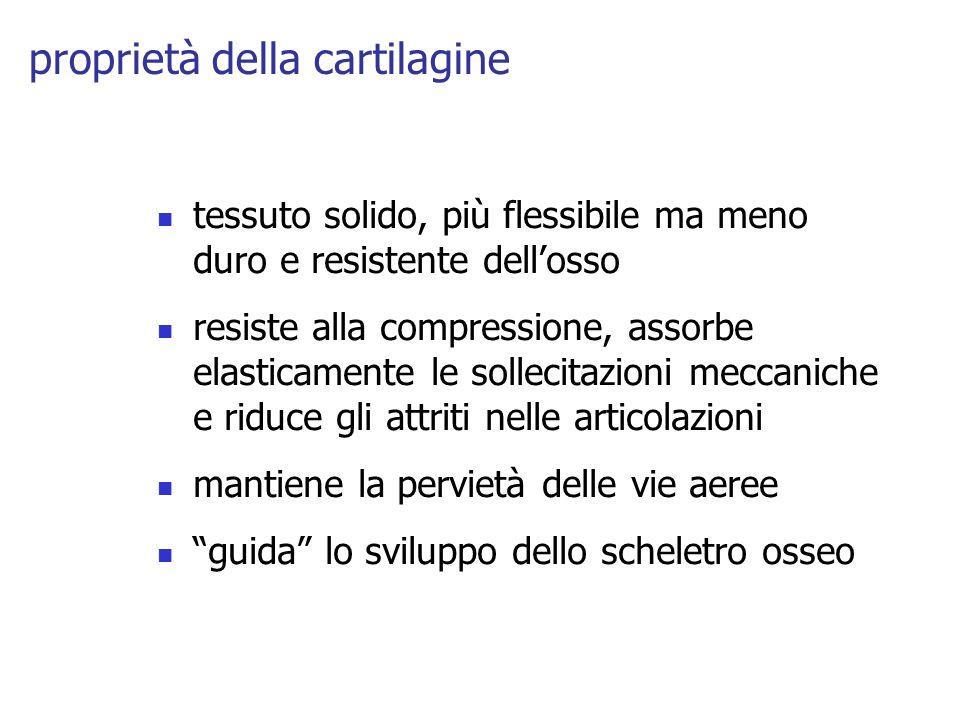 proprietà della cartilagine tessuto solido, più flessibile ma meno duro e resistente dellosso resiste alla compressione, assorbe elasticamente le soll