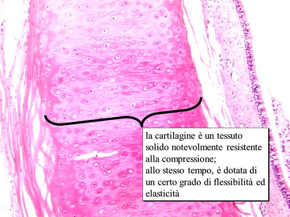 ialina 10x la cartilagine è un tessuto solido notevolmente resistente alla compressione; allo stesso tempo, è dotata di un certo grado di flessibilità