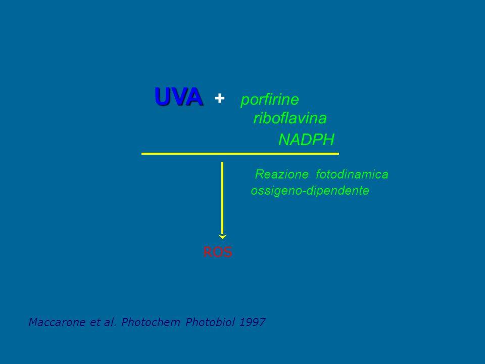 riboflavina UVA UVA + porfirine NADPH Reazione fotodinamica ossigeno-dipendente Maccarone et al. Photochem Photobiol 1997 ROS