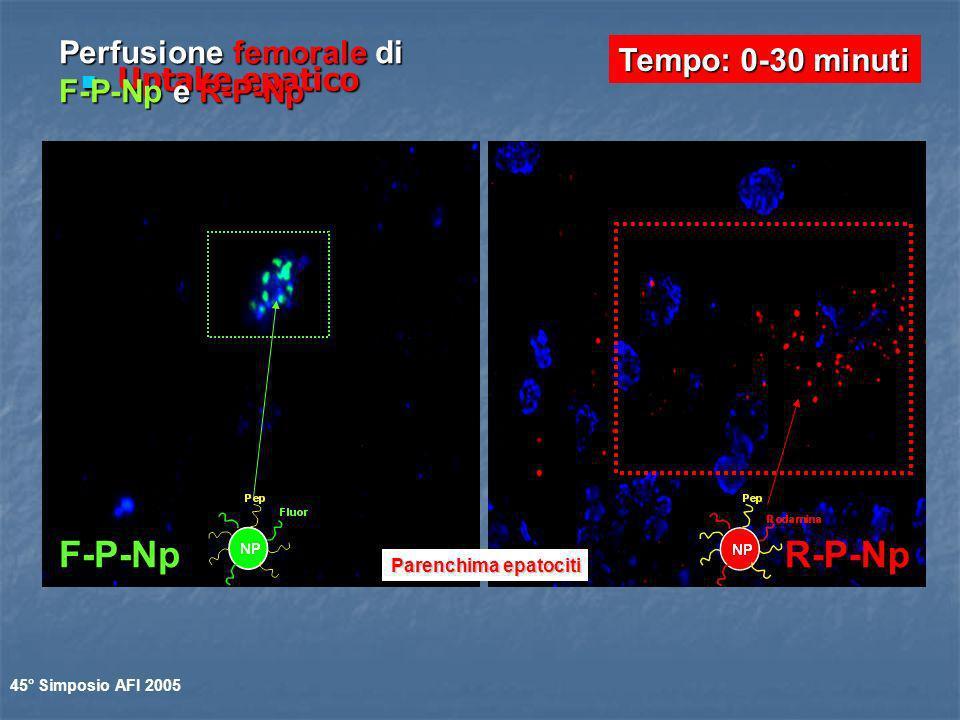 Uptake epatico Uptake epatico Parenchima epatociti Tempo: 0-30 minuti Perfusione femorale di F-P-Np e R-P-Np F-P-NpR-P-Np 45° Simposio AFI 2005