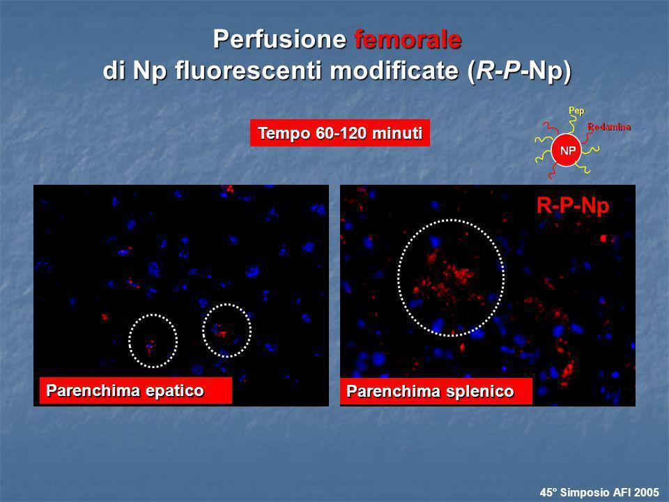 Tempo 60-120 minuti Perfusione femorale di Np fluorescenti modificate (R-P-Np) Parenchima epatico 45° Simposio AFI 2005 Parenchima splenico R-P-Np