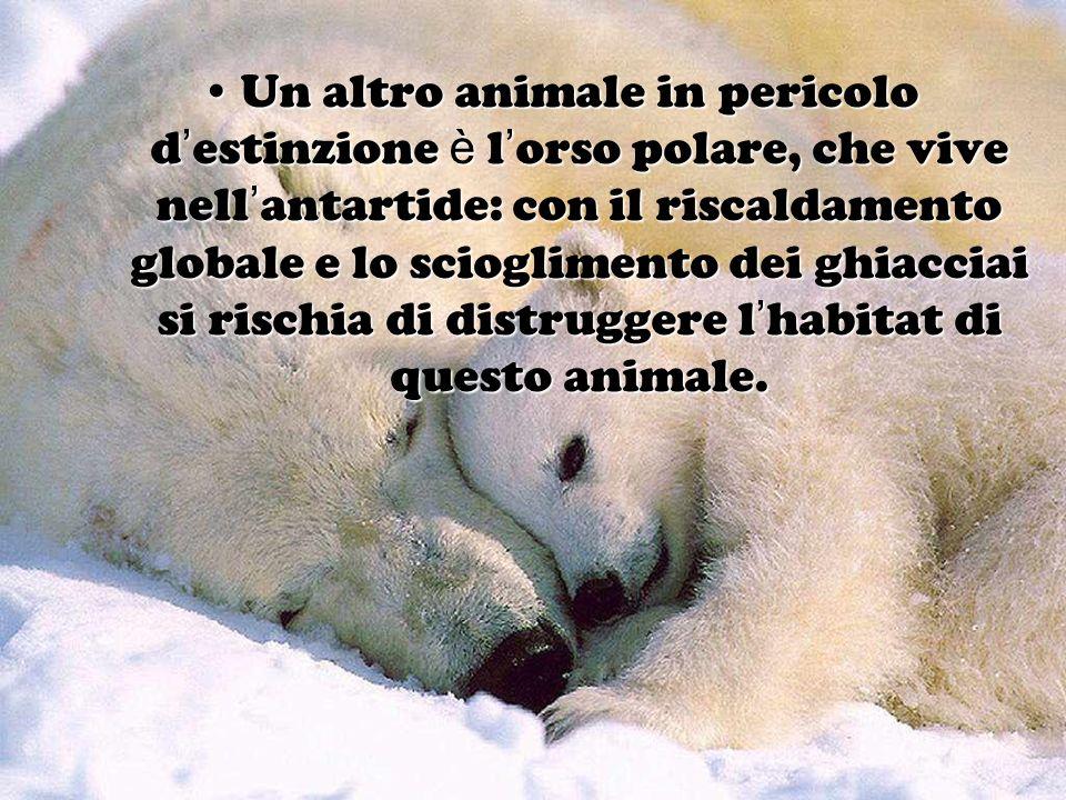Un altro animale in pericolo d estinzione è l orso polare, che vive nell antartide: con il riscaldamento globale e lo scioglimento dei ghiacciai si ri