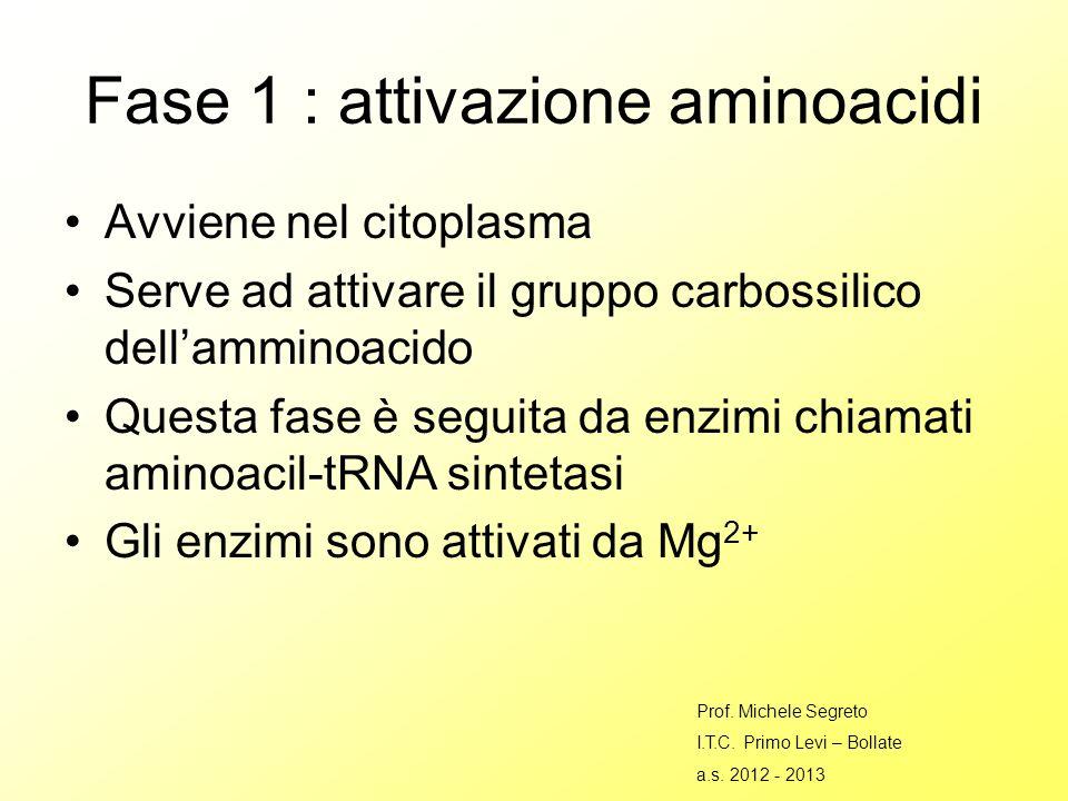 Fase 1 : attivazione aminoacidi Avviene nel citoplasma Serve ad attivare il gruppo carbossilico dellamminoacido Questa fase è seguita da enzimi chiamati aminoacil-tRNA sintetasi Gli enzimi sono attivati da Mg 2+ Prof.