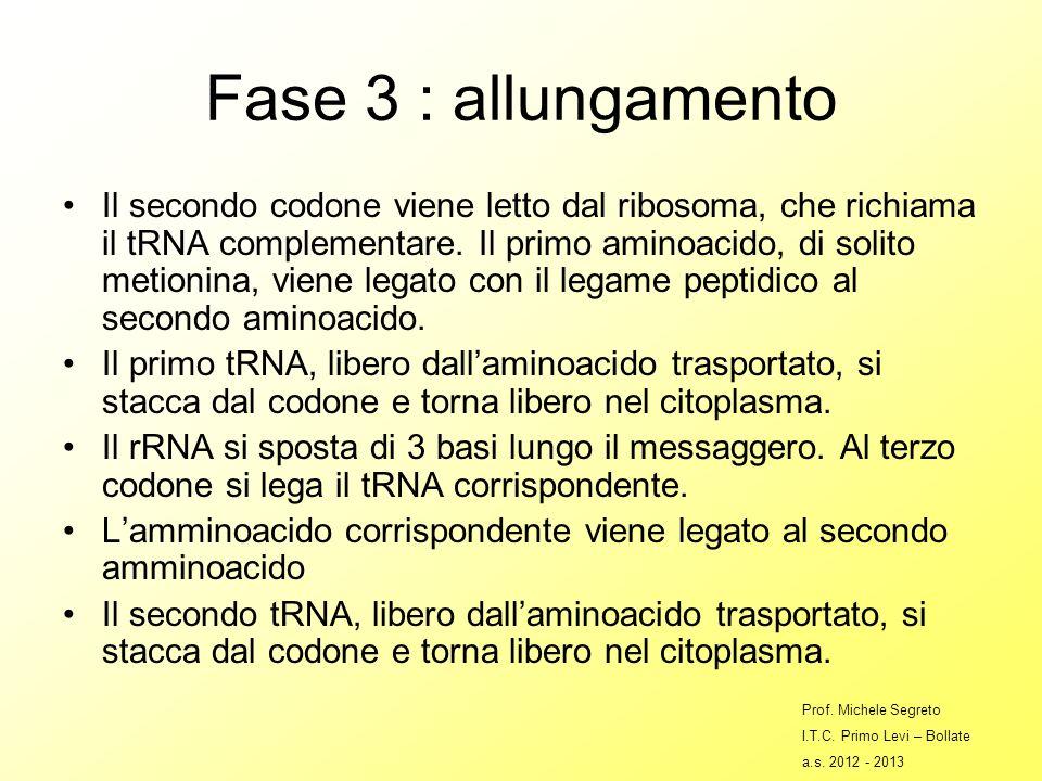Fase 3 : allungamento Il secondo codone viene letto dal ribosoma, che richiama il tRNA complementare.