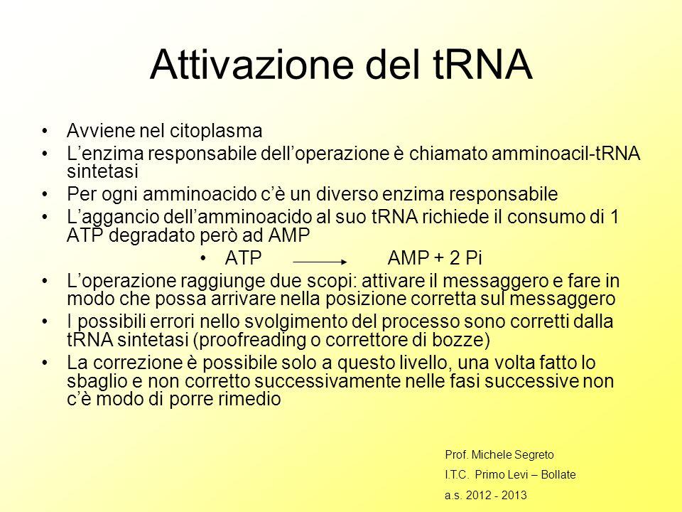 Attivazione del tRNA Avviene nel citoplasma Lenzima responsabile delloperazione è chiamato amminoacil-tRNA sintetasi Per ogni amminoacido cè un diverso enzima responsabile Laggancio dellamminoacido al suo tRNA richiede il consumo di 1 ATP degradato però ad AMP ATP AMP + 2 Pi Loperazione raggiunge due scopi: attivare il messaggero e fare in modo che possa arrivare nella posizione corretta sul messaggero I possibili errori nello svolgimento del processo sono corretti dalla tRNA sintetasi (proofreading o correttore di bozze) La correzione è possibile solo a questo livello, una volta fatto lo sbaglio e non corretto successivamente nelle fasi successive non cè modo di porre rimedio Prof.