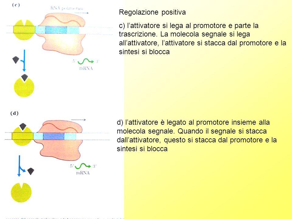 Regolazione positiva c) lattivatore si lega al promotore e parte la trascrizione.