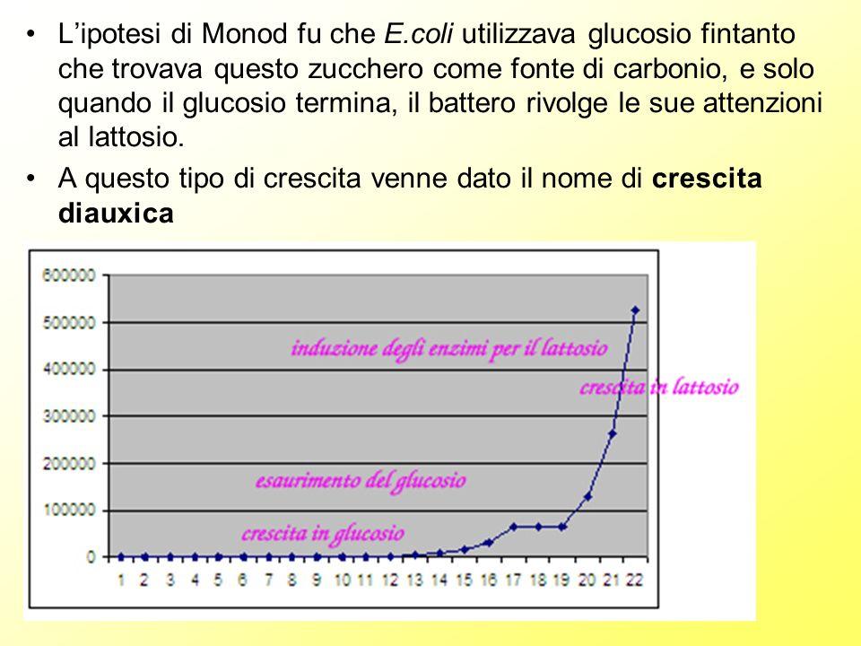 Lipotesi di Monod fu che E.coli utilizzava glucosio fintanto che trovava questo zucchero come fonte di carbonio, e solo quando il glucosio termina, il battero rivolge le sue attenzioni al lattosio.