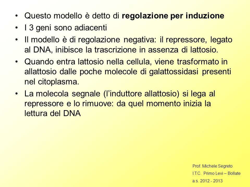 Questo modello è detto di regolazione per induzione I 3 geni sono adiacenti Il modello è di regolazione negativa: il repressore, legato al DNA, inibisce la trascrizione in assenza di lattosio.