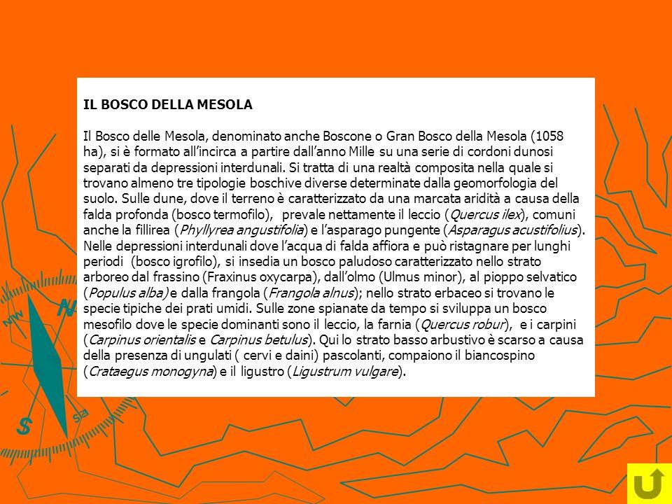 IL BOSCO DELLA MESOLA Il Bosco delle Mesola, denominato anche Boscone o Gran Bosco della Mesola (1058 ha), si è formato allincirca a partire dallanno