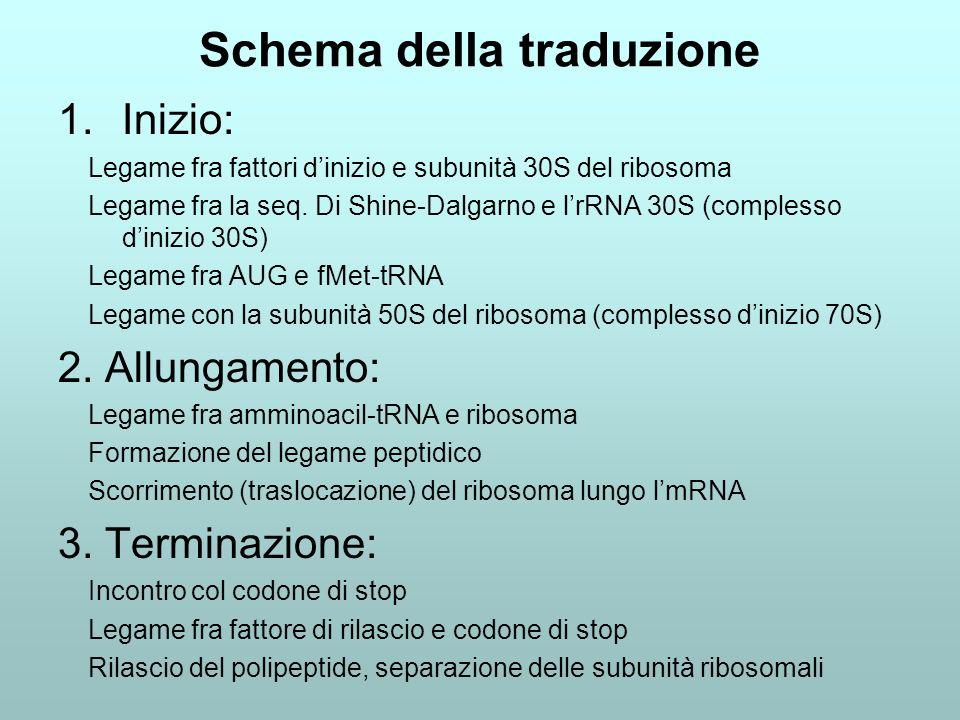 Schema della traduzione 1.Inizio: Legame fra fattori dinizio e subunità 30S del ribosoma Legame fra la seq. Di Shine-Dalgarno e lrRNA 30S (complesso d