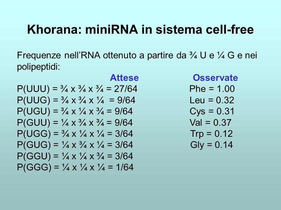 Khorana: miniRNA in sistema cell-free Frequenze nellRNA ottenuto a partire da ¾ U e ¼ G e nei polipeptidi: Attese Osservate P(UUU) = ¾ x ¾ x ¾ = 27/64