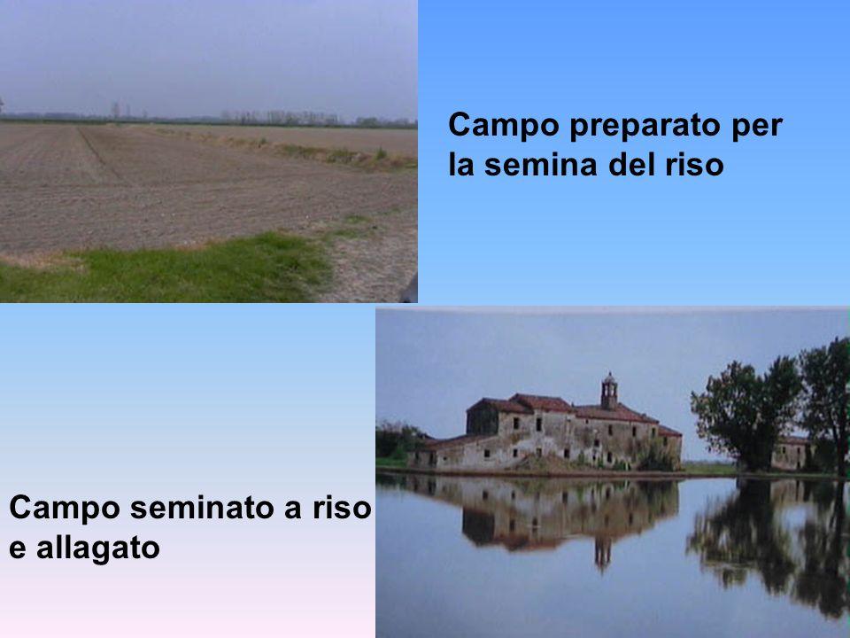 Campo preparato per la semina del riso Campo seminato a riso e allagato