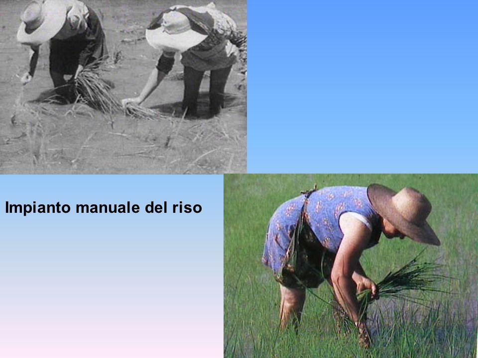 Impianto manuale del riso