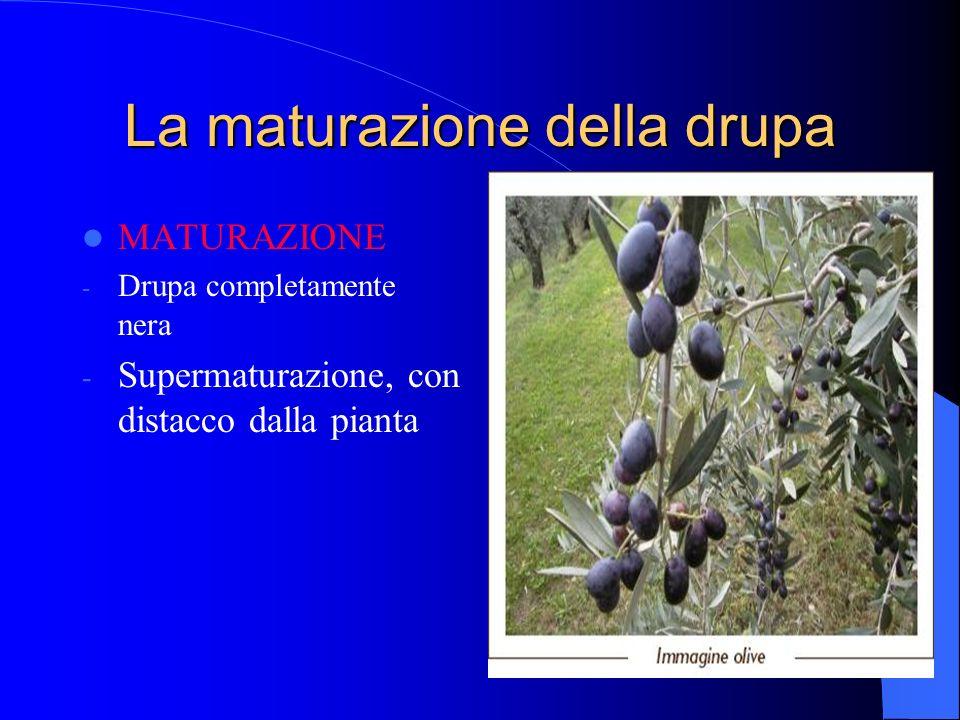 La maturazione della drupa MATURAZIONE - Drupa completamente nera - Supermaturazione, con distacco dalla pianta