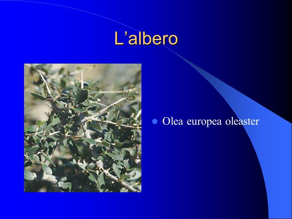 Lalbero Olea europea oleaster