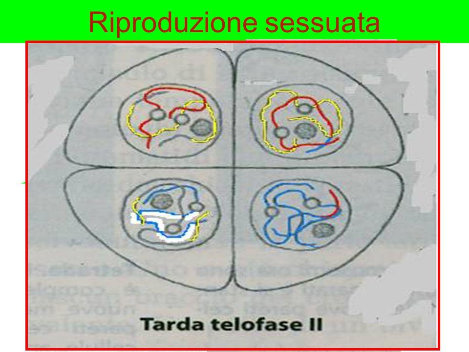 Riproduzione sessuata Al momento della meiosi, cellule diploidi subiscono un particolare tipo di divisione in due fasi principali, da cui si originano