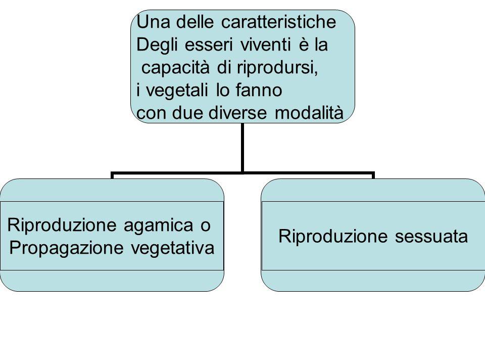 Introduzione alla botanica TERZA LEZIONE Dott. CINTONI CARLO UNIVERSITA DELLA TERZA ETA ARICCIA