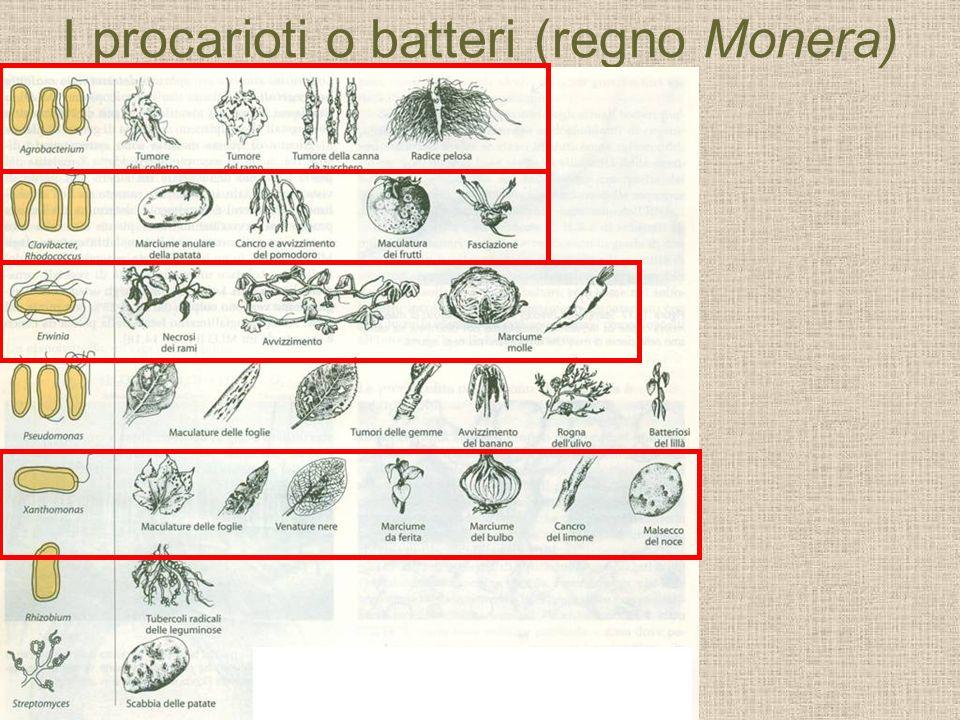 I procarioti o batteri (regno Monera)